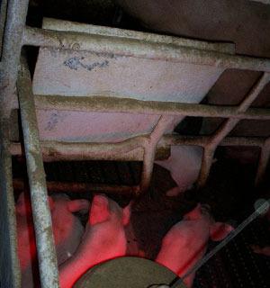 Lamina di metallo per proteggere le scrofe dalla luce e dal calore della lampada da riscaldamento.