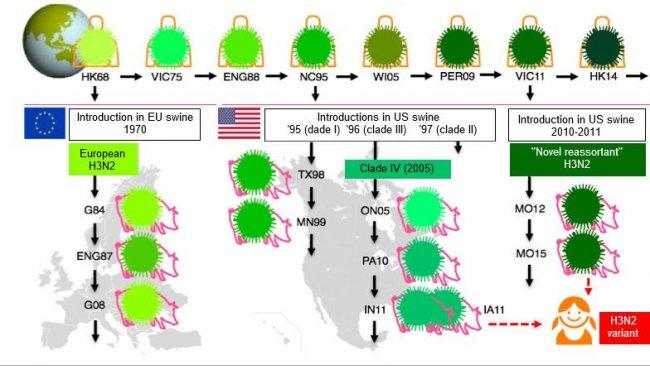 """Figura 1. Evoluzione dei virus Influenza H3N2 nell'uomo e nei suini. Le varie tonalitàdi verdeindicano differenze antigeniche delH3 HA; i ceppi virali sono indicati con la posizione (abbreviata) e l'anno di isolamento. I virus dell'uomo furono introdotti nella popolazione suina all'inizio degli anni 70 in Europa e a metà degli anni 90 e nel2010 nel Nord America. Questo ha portato alla situazione attuale di 3 clusters distinti di SIVH3N2 (vedere le finestre deltesto), uno in Europa e 2 nel Nord-America.I clusters nordamericani del tutto occasionalmente, saltano di ritorno, verso la popolazione umana e vengono quindi chiamati""""varianti""""."""
