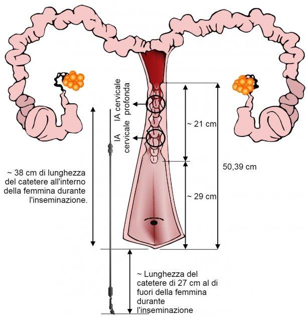 Figura 3. Rappresentazione della disposizione del catetere di IA nel tratto genitale della femmina durante l'IA. Le dimensioni sono state misurate a partire dalle inseminazioni e dai tratti genitali delle scrofe nullipare provenienti dal macello.