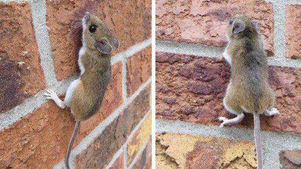 Esempio di un topo che sale una parete. Fonte: Nature Guelph Tracking Club (natureguelphtracking.wordpress.com)