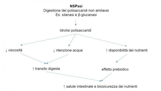 Meccanismo d'azione degli enzimi esogeni. Gli enzimi esogeni hanno attività prebiotica idrolizzando i polisaccaridi non amilacei verso gli oligosaccaridi utilizzabili da alcuni batteri. Adattato da Sinha 2011